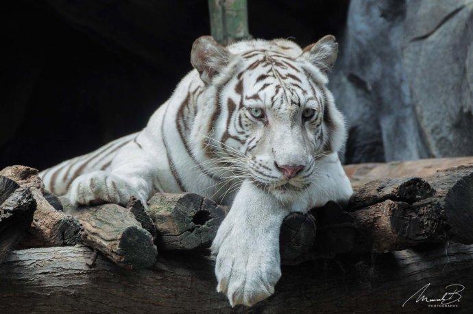 eaudeusiss weisser tiger liegend