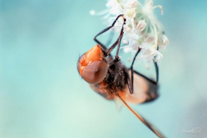 eaudesuisse fliege roter kopf