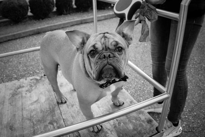 eaudesuisse bulldogge wie rocco sw
