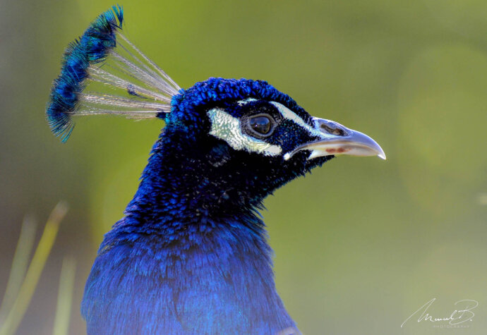 eaudesuisse vögel pfau blau seiteeaudesuisse vögel pfau blau seite