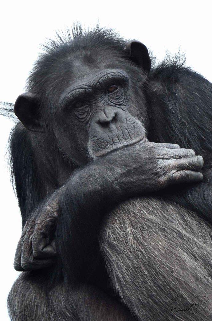 eaudesuisse mixed schimpanse sitzend nachdenklich