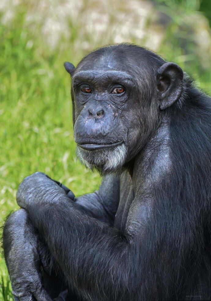 eaudesuisse mixed schimpanse sitzend schaut zu mir