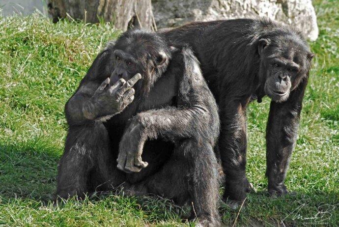 eaudesuisse tiere schimpanse stinkefinger walter zoo