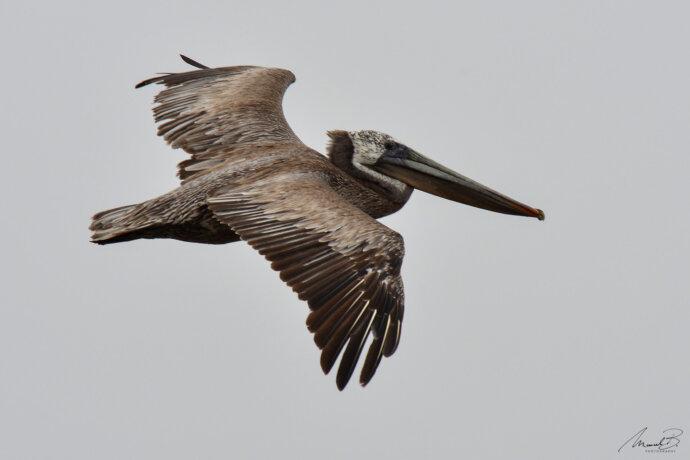 eaudesuisse vögel pelikan usa