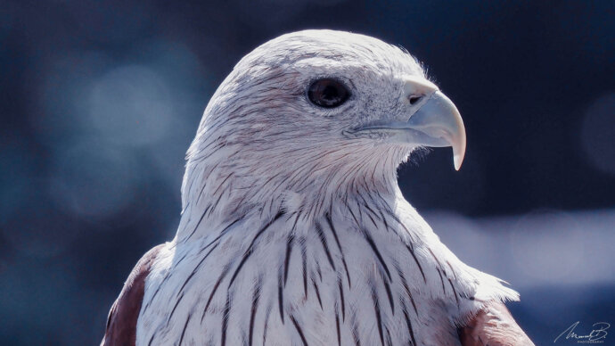 eaudesuisse vögel falke kopf seitlich