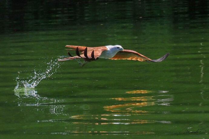 eaudesuisse vögel falke berührt wasser