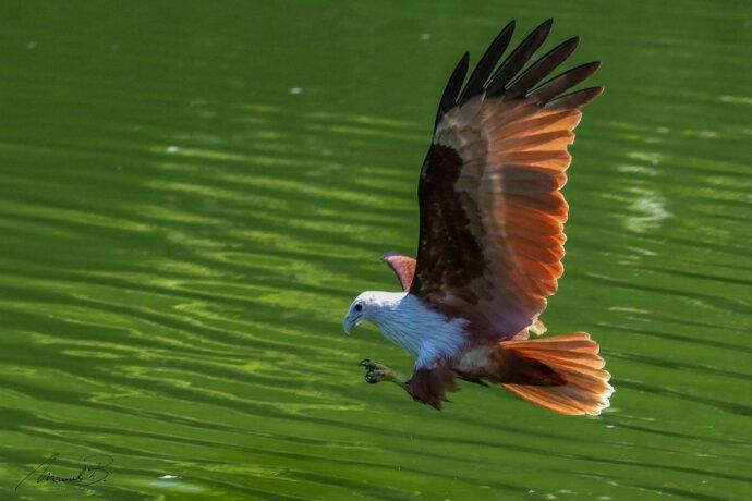 eaudesuisse vögel falke anflug