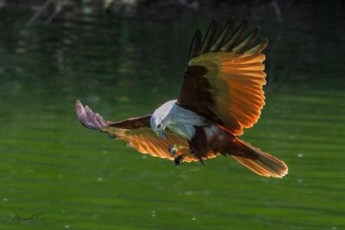 eaudesuisse vögel falke über wasser