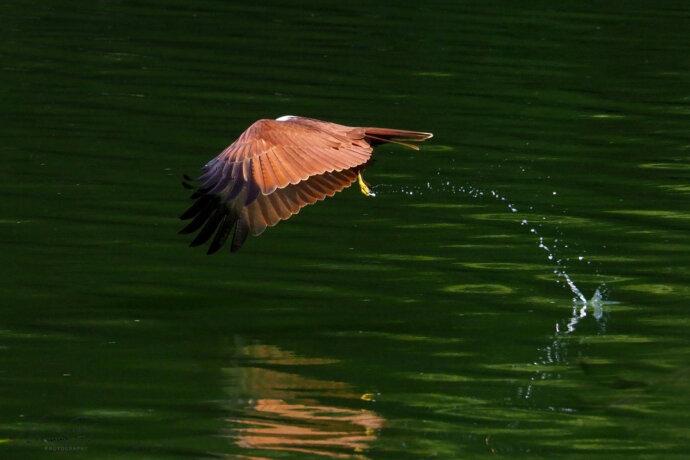 eaudesuisse vögel falke touch down 1