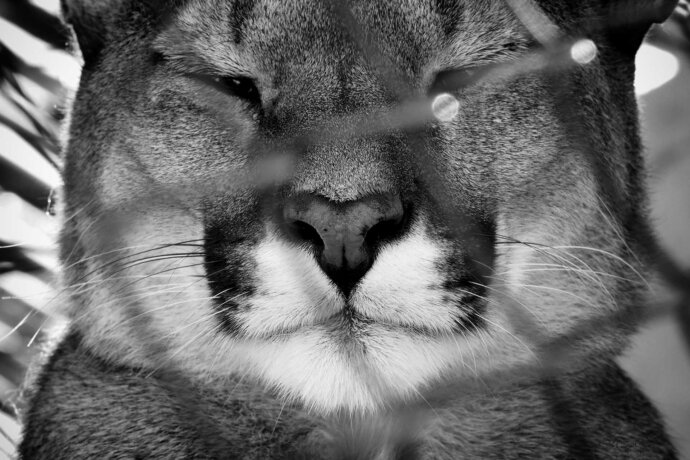 eaudesuisse wunderbare tierwelt sw puma frontal