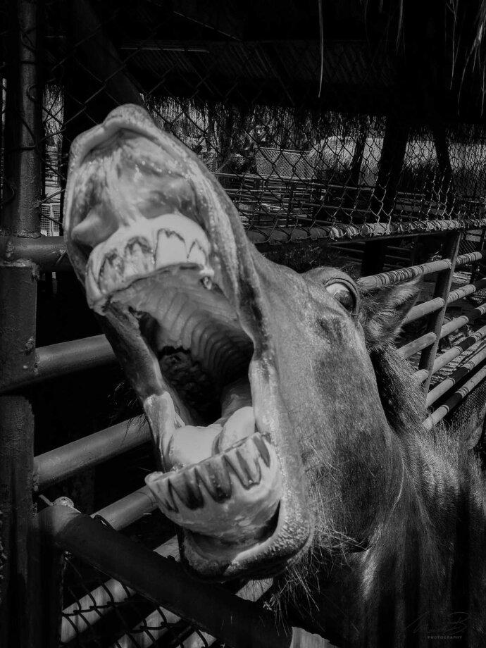 eaudesuisse mixed pferd mund auf 1